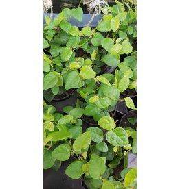NLS Ficus pumila Green zonnig