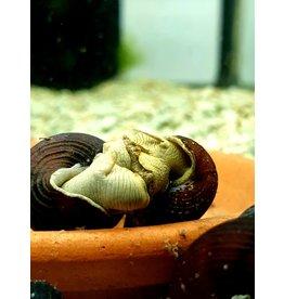 Bubba's Snail Tylo. Yellow antena