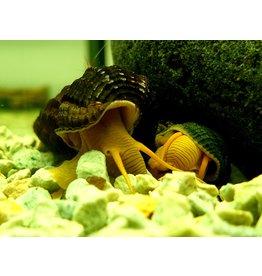 Bubba's Snail Tylo yellow rabbit
