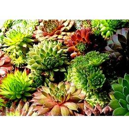 Cactus Sempervium mix