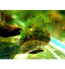 Bubba's Snail Taia Naticoides