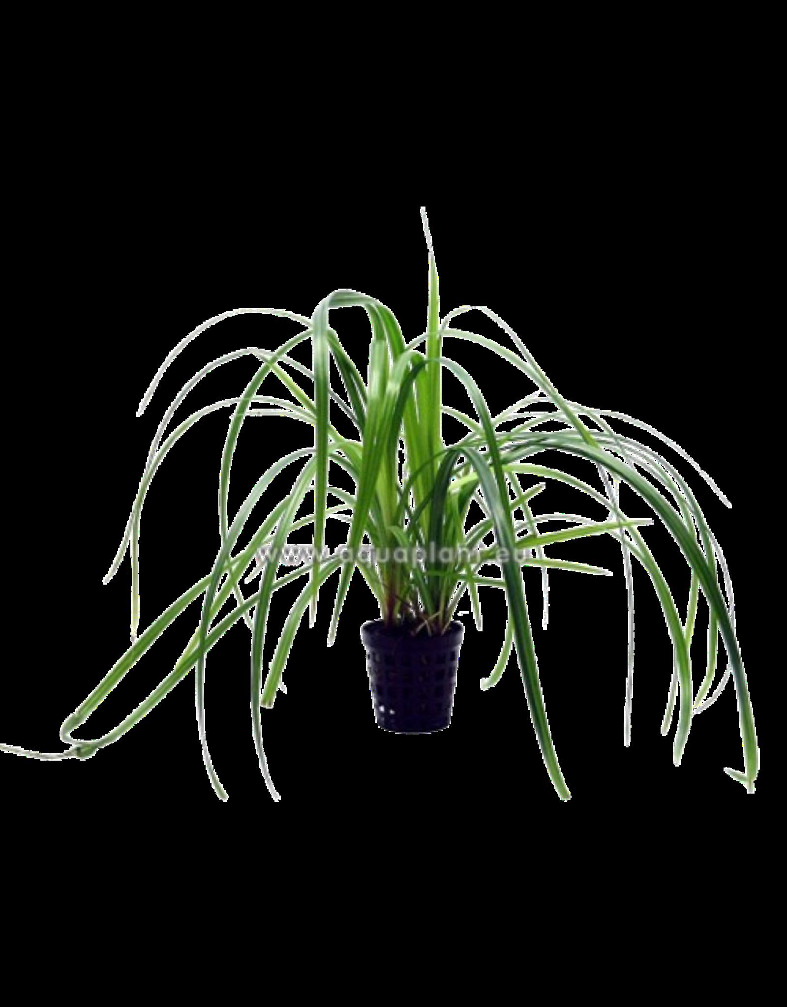 Bubba's Plants Cyperus helferi