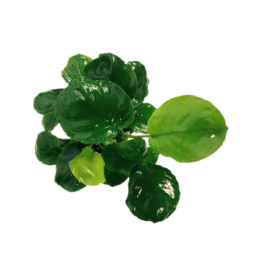 Bubba's Plants Anubias Golden Coin