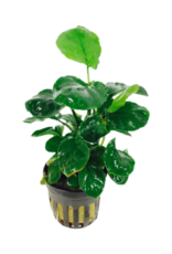 Bubba's Plants Anubias barteri gouden munt
