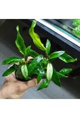 Bubba's Plants Anubias minima variegata