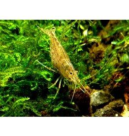 Bubba's Shrimps Japonica - Amano Garnaal