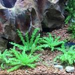 Bubba's Plants Pogostemon helferi