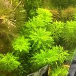 Bubba's Plants Limnophila sessiliflora - ambulia