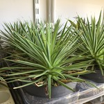 Cactus Agave stricta nana