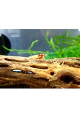 Bubba's Shrimps Caridina Pinto red shrimp