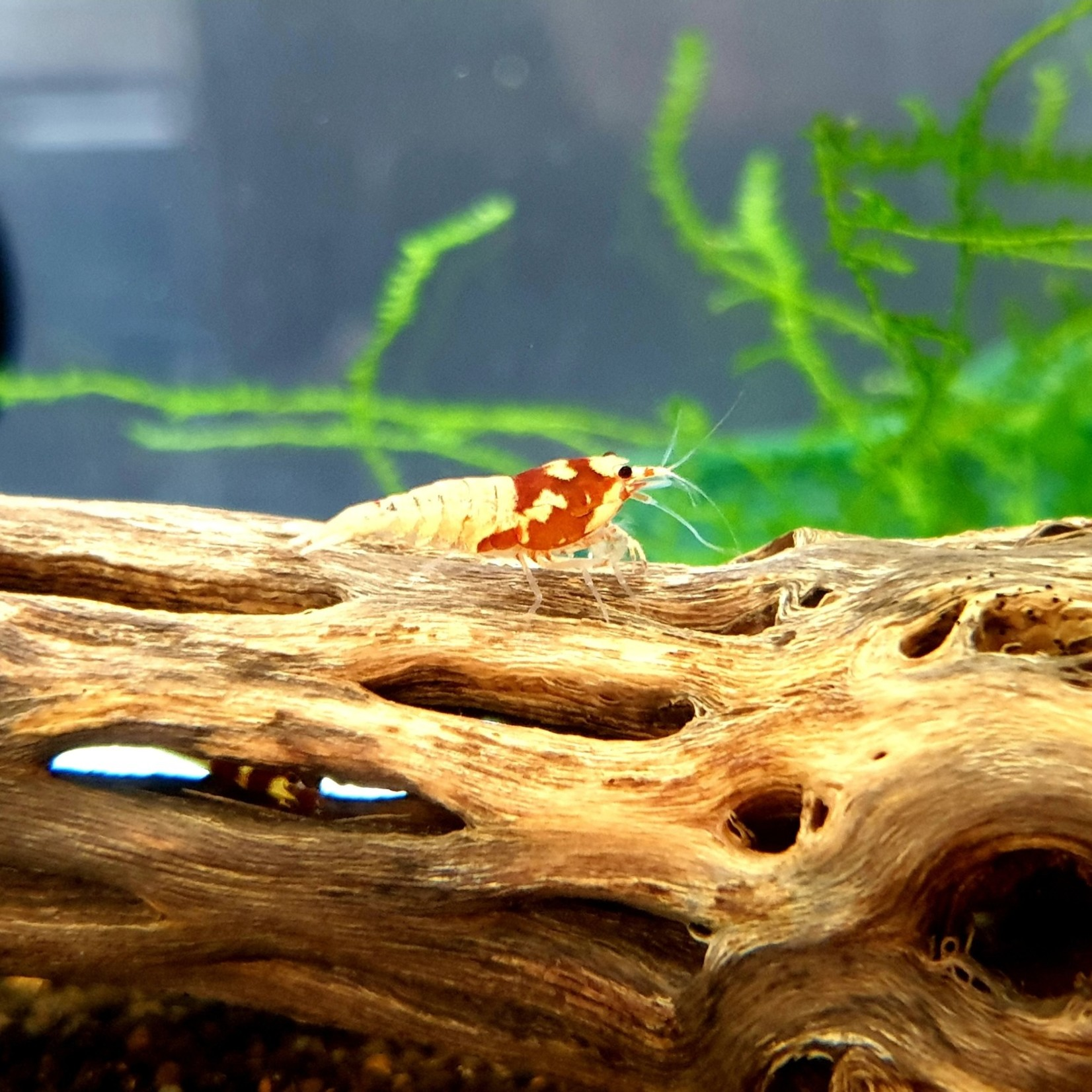 Bubba's Shrimps Caridina Pinto rode garnaal