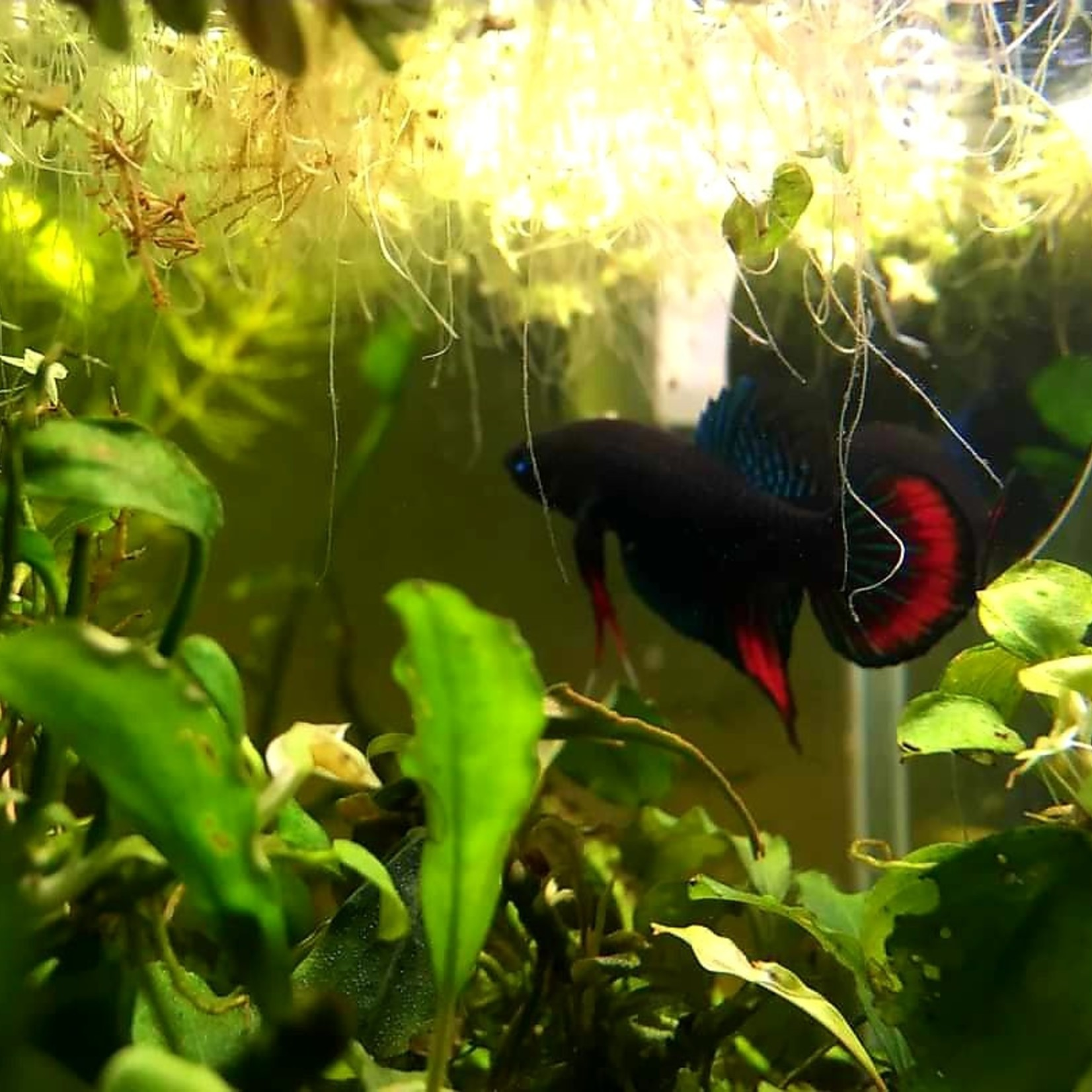Bubba's Fishs Betta Imbellis