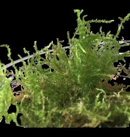 Mousse Pearl moss - Plagiomnium cf. Affine