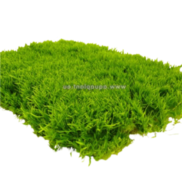 Mousse Utricularia graminifolia
