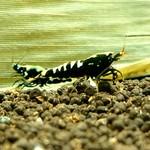 Bubba's Shrimps Pinto Galaxy Fishbone