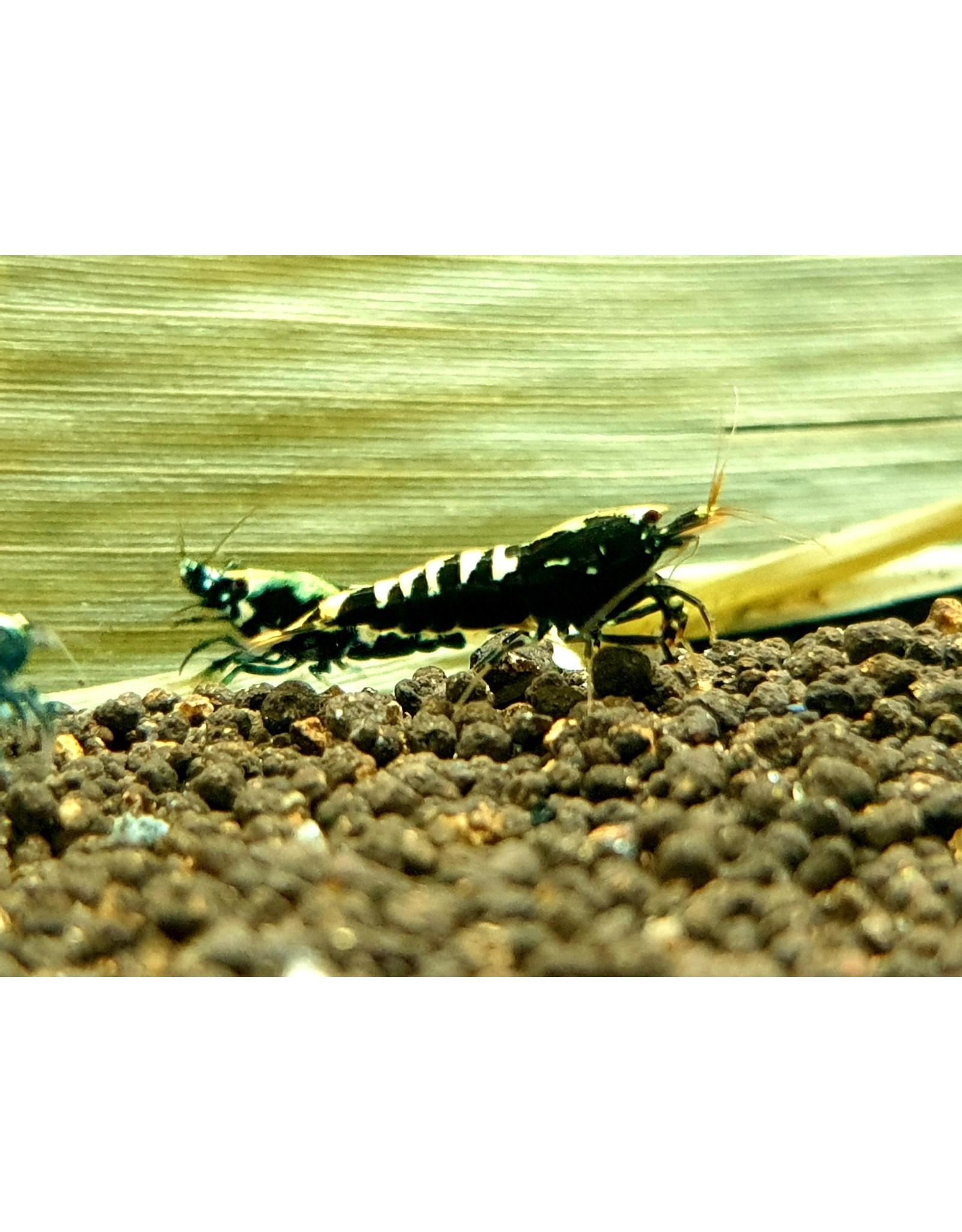 Bubba's Shrimps Caridina - Pinto Galaxy Fishbone