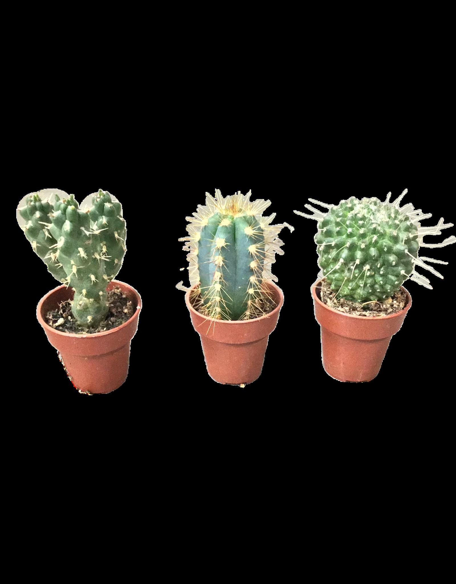 NLS 3 mini cactussen