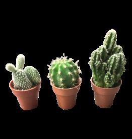 3 mini cactussen