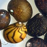 Bubba's Snail Neritina sp. Batik