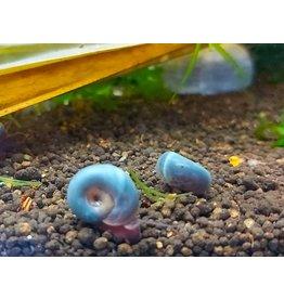 Bubba's Snail Escargots - Planorbes bleu