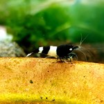 Bubba's Shrimps Panda - King-Kong