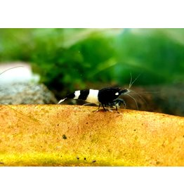 Bubba's Shrimps Panda - King-Kong
