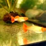 """Bubba's Fishs Guppy Koi """"Kohaku"""""""