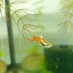 Bubba's Fishs Guppy Endler - Green Lime