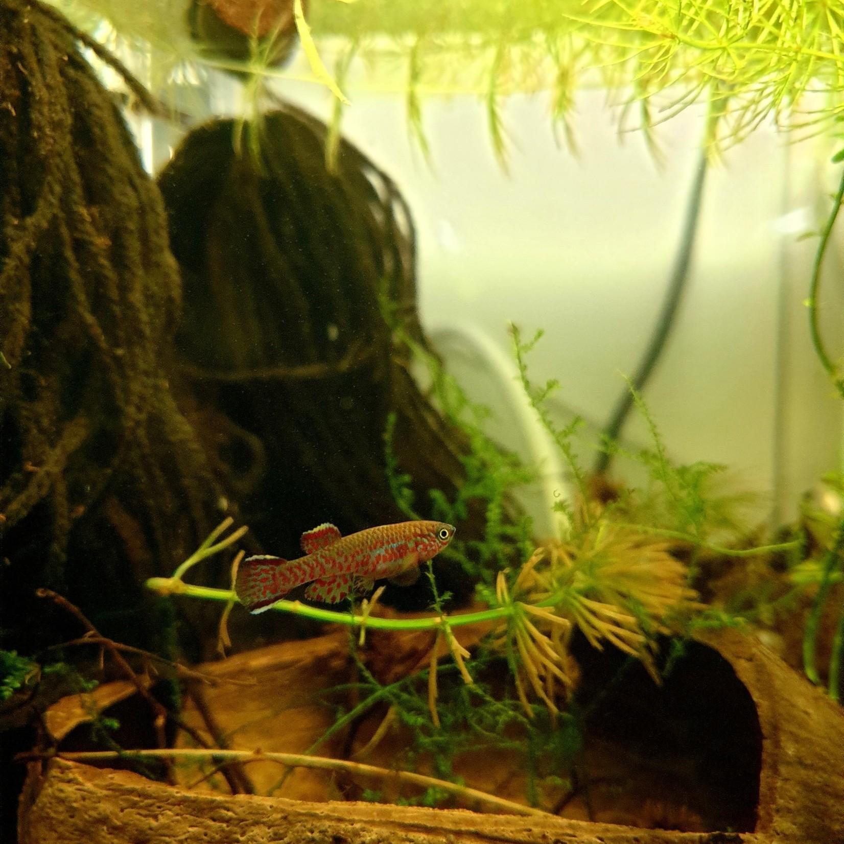 Bubba's Fishs Aphyosemion Gardneri