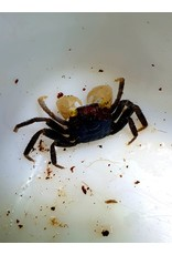 Bubba's Crabs Crabe -  Yellow eyes