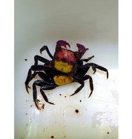 Bubba's Crabs Crabe - Bicolor Red Carnaval