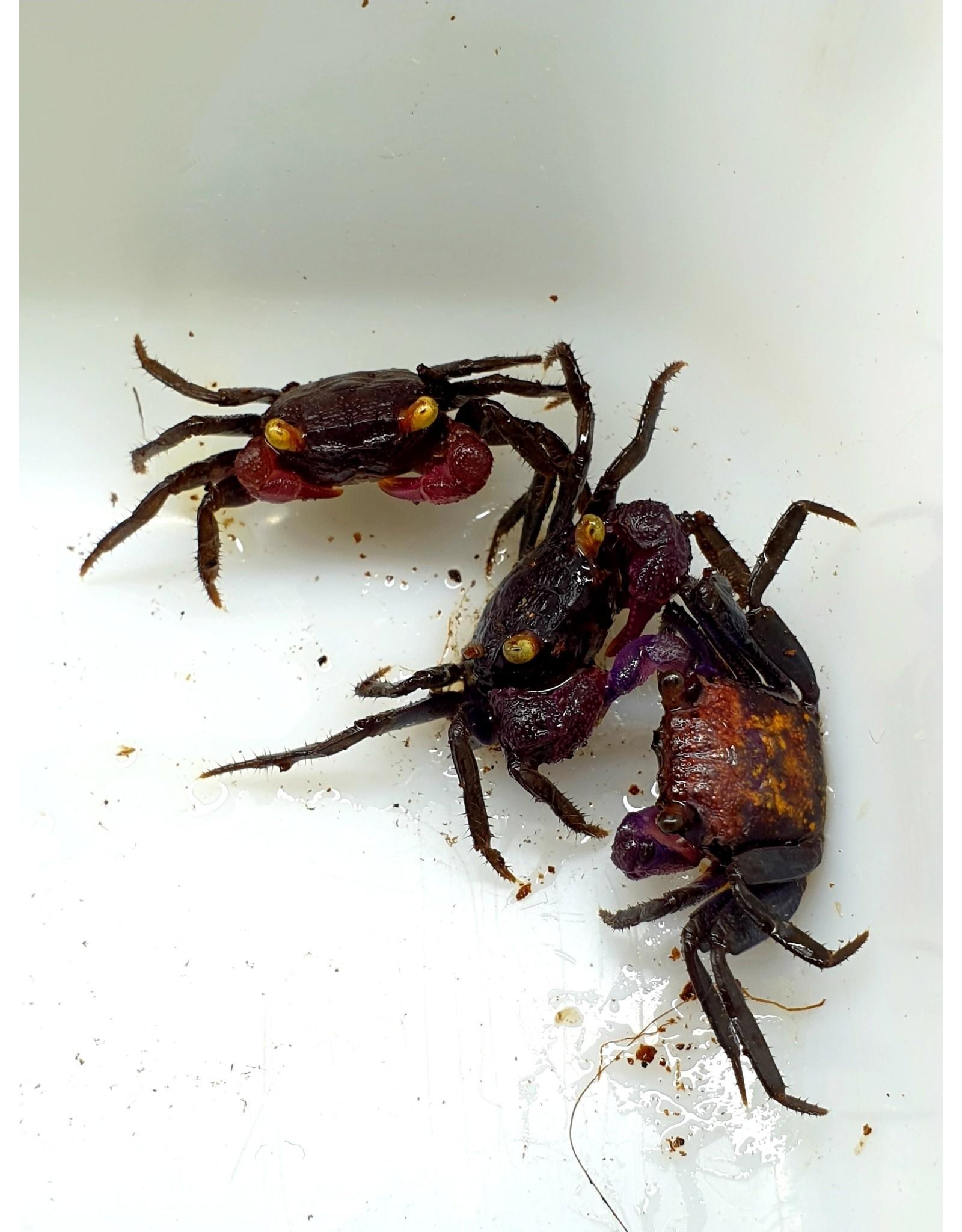 Bubba's Crabs Crabe - Bogorensis Ultra violet