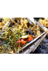 Bubba's Crabs Crabe - Golden Top
