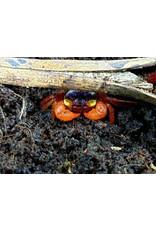 Bubba's Crabs Crabe - Notophorum Madarin