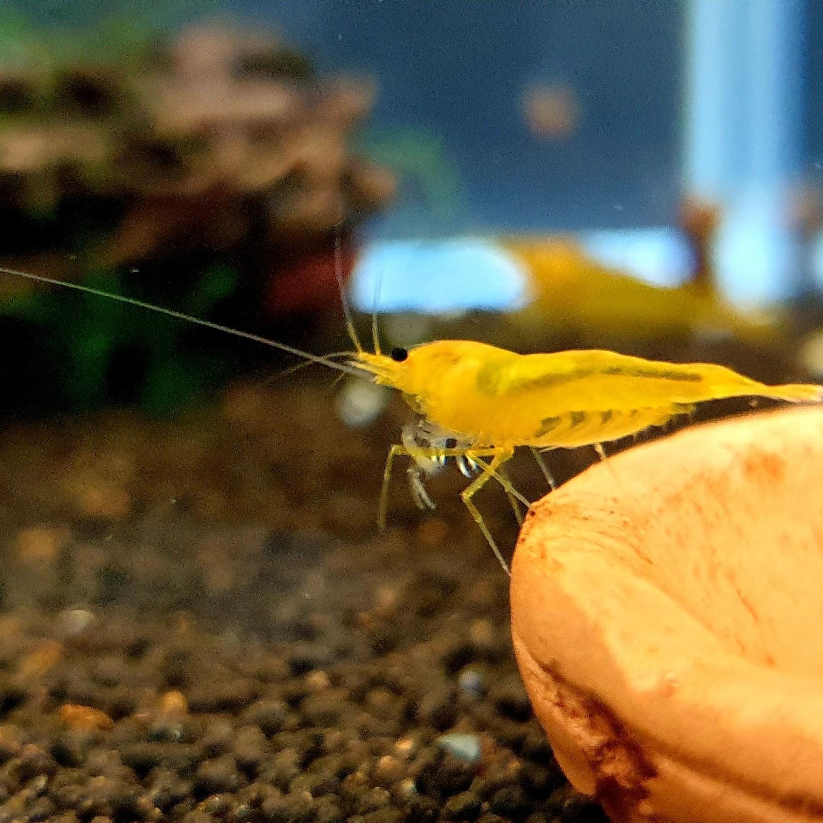Bubba's Shrimps King-Kong Geel