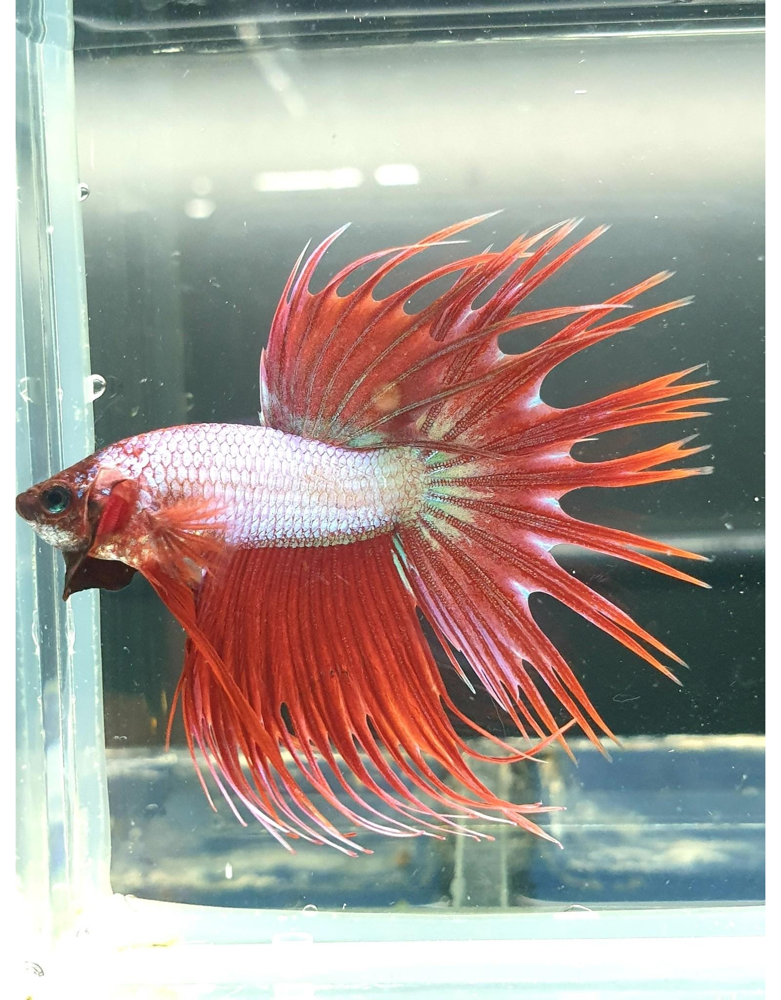 Bubba's Fishs Betta Crown fancy