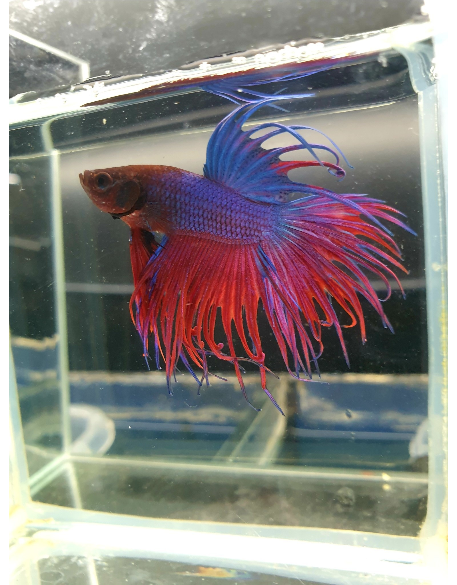 Bubba's Fishs Crown fancy