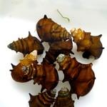 Bubba's Snail Brotia sp. Birma