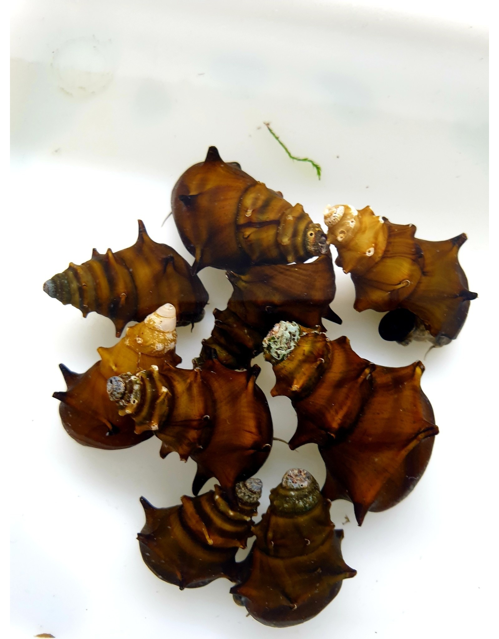 Bubba's Snail Snail Brotia sp. Burma