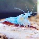 Bubba's Shrimps Volledige blauwe Rili
