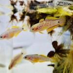 Bubba's Fishs Tateur - Tateurndina ocellicauda