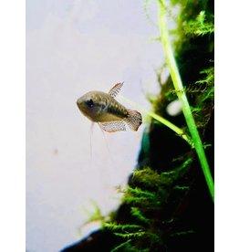 Bubba's Fishs Dwerg gouramis