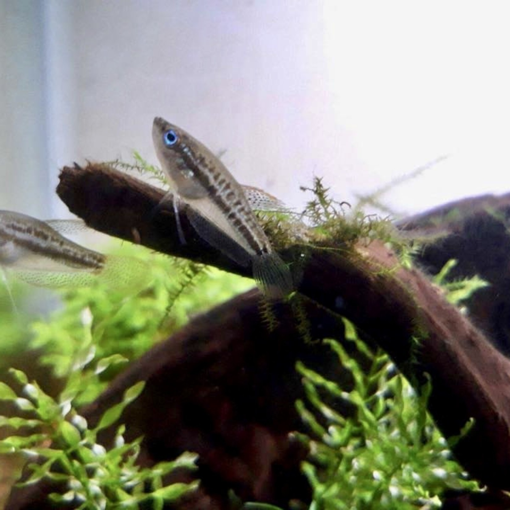 Bubba's Fishs Trichopsis pumila - Dwerg gourami