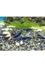 Bubba's Shrimps Neocaridina davidi var. Blue Sapphire