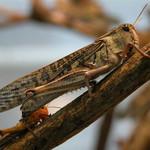 Bubba's Foods Sprinkhaan - Locusta Migratoria