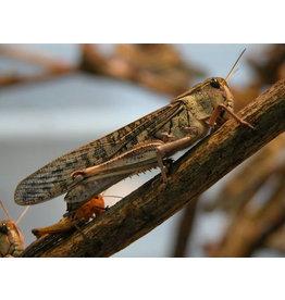 Bubba's Foods Locust - Locusta Migratoria
