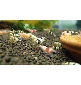 Bubba's Shrimps Taiwan Bijenmix