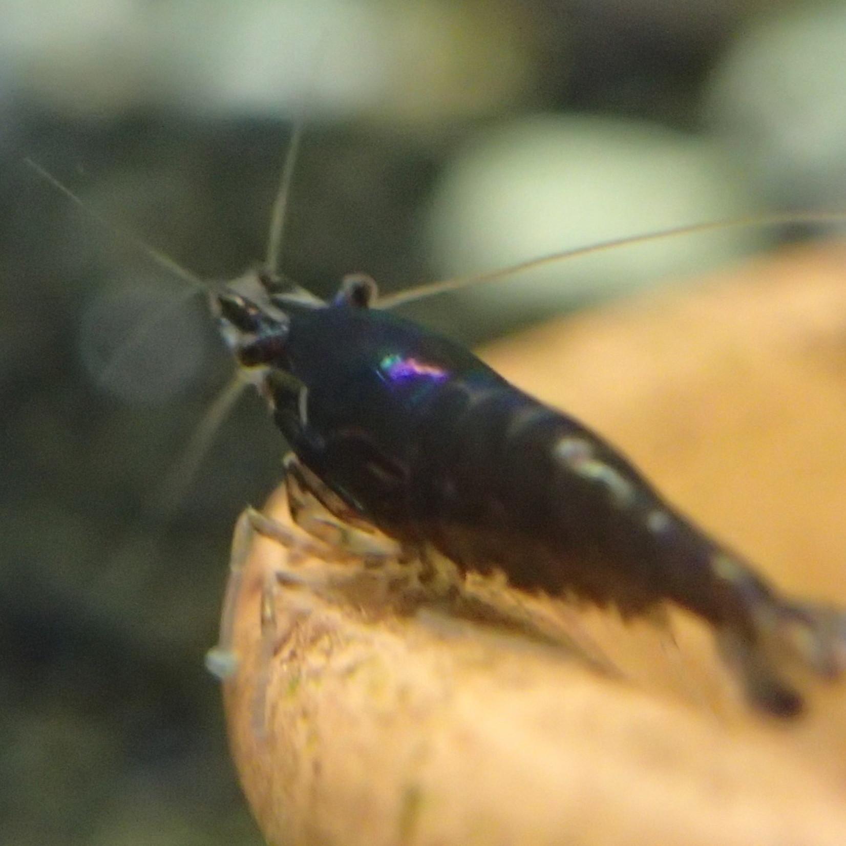 Bubba's Shrimps Neocaridina davidi var. Zwart - Chocolade