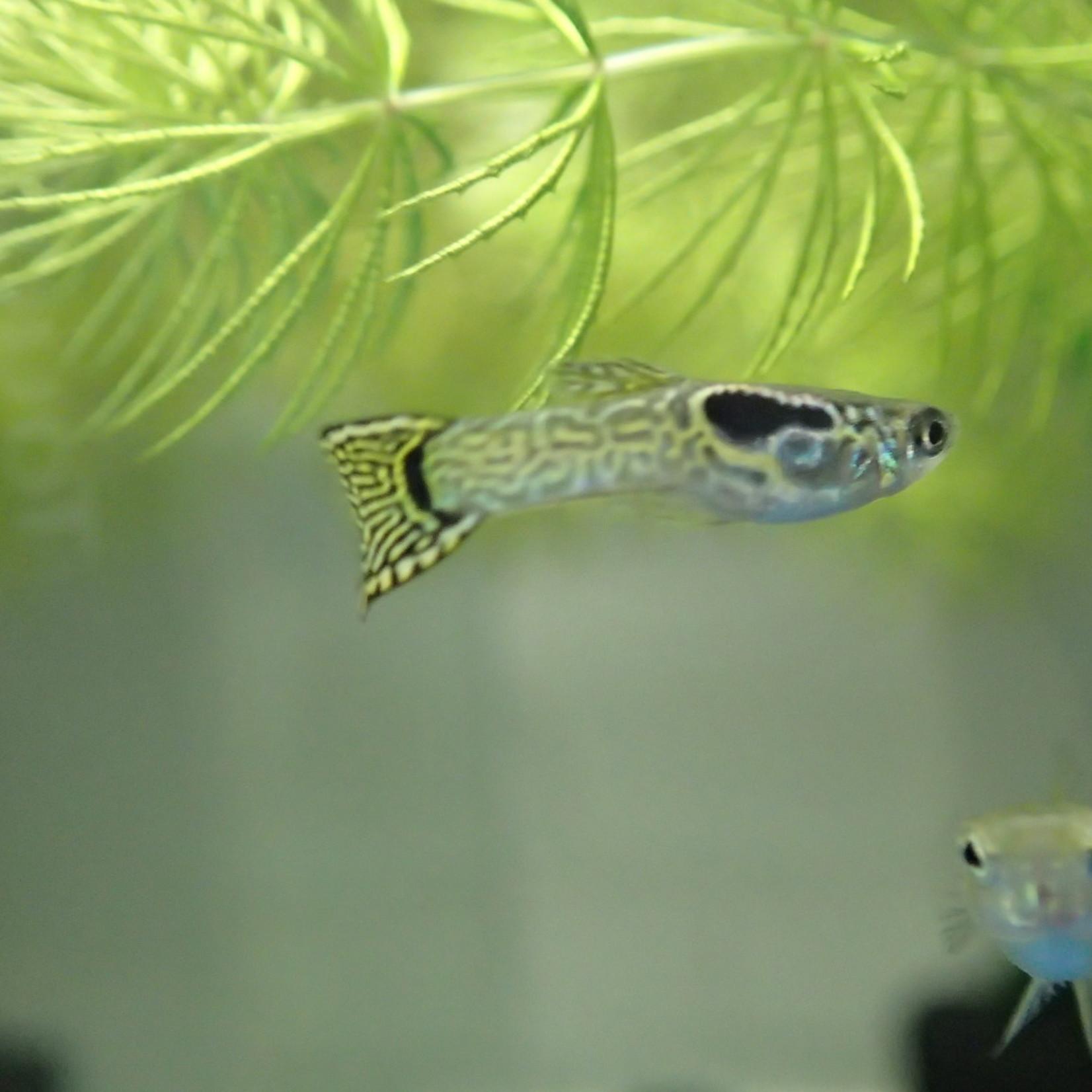 Bubba's Fishs Guppy Endler - Cobra vert
