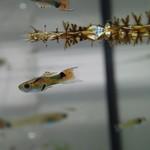 Bubba's Fishs Campoma 2008 n15